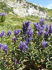 Horec luskáčovitý (lat. Gentiana asclepiadea)