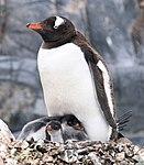 Gentoo Penguin Baby (24940372635).jpg