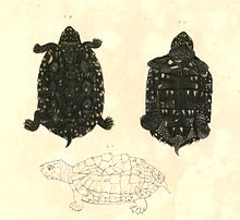 Geoclemys hamiltonii (Black pond turtle)