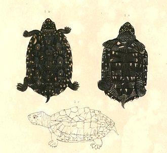 Francis Buchanan-Hamilton - An illustration of Geoclemys hamiltonii (Black pond turtle) by Thomas Hardwicke