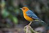 Geokichla citrina, orange-headed thrush.jpg