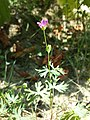 Geranium columbinum sl6.jpg
