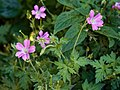Geranium endressii (× oxonianum) at Nuthurst, West Sussex, England.jpg