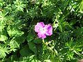 Geranium macrorrhizum 'Bevan's Variety' 01.JPG