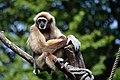 Gibbon aux mains blanches (Zoo Amiens).JPG