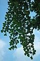 Ginkgo biloba leaves (Celina, Ohio, USA) 4 (49047012838).jpg