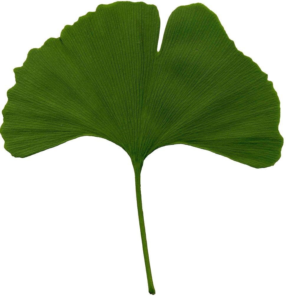 Ginkgo biloba scanned leaf