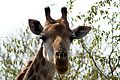 Giraffe, Kruger National Park, South Africa (14959481746).jpg