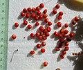 Gloriosa superba seeds, by Omar Hoftun.jpg