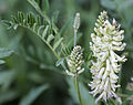 Glycyrrhiza lepidota Wild licorice close.jpg