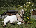 Goat with flowers.jpg