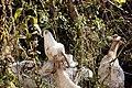 Goats Grazing (37121629713).jpg