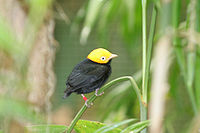 Golden-headed Manakin.jpg