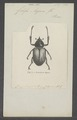 Golofa - Print - Iconographia Zoologica - Special Collections University of Amsterdam - UBAINV0274 021 07 0002.tif