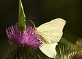 Gonepteryx rhamni LC0157.jpg