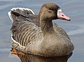 Goose at Five Mile Lake.jpg