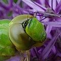 Grüne Libelle 1.jpg