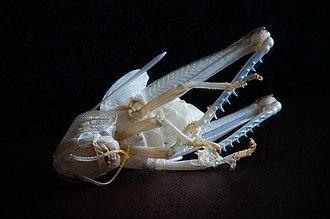Grasshopper - Abandoned moult