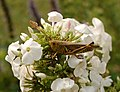 Grasshopper on Phlox 2596px.jpg