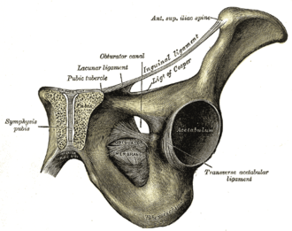 Obturator membrane - Anterior cut-out view of right pelvis, obturator membrane labeled at center.