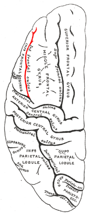 Inferior frontal sulcus - Lateral surface of left cerebral hemisphere, viewed from above.