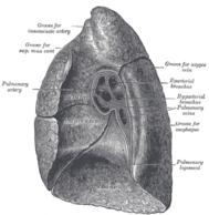 Die rechte Lunge