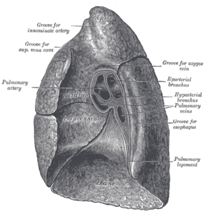 Root of the lung - Mediastinal surface of right lung.