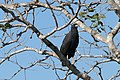 Great Black Hawk (Buteogallus urubitinga) - Flickr - berniedup.jpg