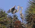 Great Blue Herons in Love - Flickr - Andrea Westmoreland.jpg