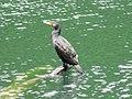 Great Cormorant 201709 Kawau IMG 1830.jpg