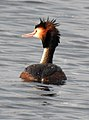 Great Crested Grebe Podiceps cristatus by Dr. Raju Kasambe DSCN9040 (2).jpg