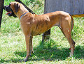 Great Dane K02.jpg