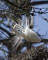 Great Egret at nest, Morro Bay.jpg