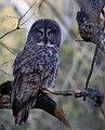 Great Gray Owl (19130077044).jpg