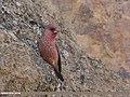Great Rosefinch (Carpodacus rubicilla) (42315015425).jpg