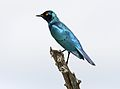 Greater Blue-eared Starling, Lamprotornis chalybaeus, at Chobe National Park, Botswana (31947810230).jpg