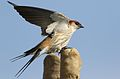 Greater Striped Swallow, Hirundo cucullata (syn. Cecropis cucullata), at Marievale Nature Reserve, Gauteng, South Africa (30390215792).jpg