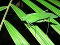 Green Katydid (Tettigoniidae) (7843674506).jpg