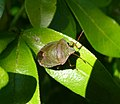 Green Shield Bug, changing from winter colouring (33439886885).jpg