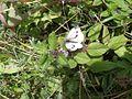 Green Veined White (Pieris napi) (7580753404).jpg