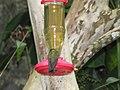 Green Violetear Hummingbirds - Inkaterra Machu Picchu Pueblo Hotel and Nature Reserve - Aguas Calientes, Peru (4875684415).jpg