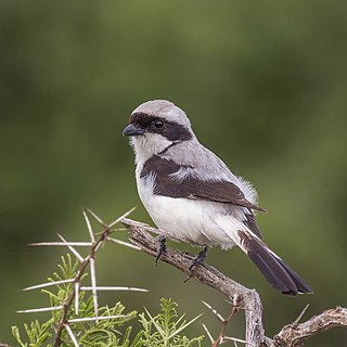Grey-backed fiscal species of bird