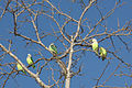 Grey-headed lovebirds tree.jpg