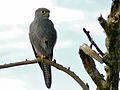 Grey Kestrel (Falco ardosiaceus) (6861327565).jpg