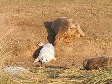 Grey Seal Mother & Pup (158097807).jpg