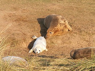 Grey seal - Female with pup