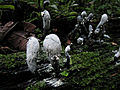 Grey fungi in Peru forest.jpg