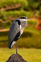 Grey heron, October 2015 II.jpg
