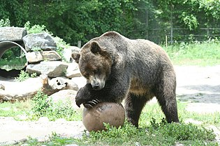 Grizzly Bear, Lounging.jpg
