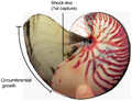 Growth in shell circumference and diameter of Nautilus pompilius.png